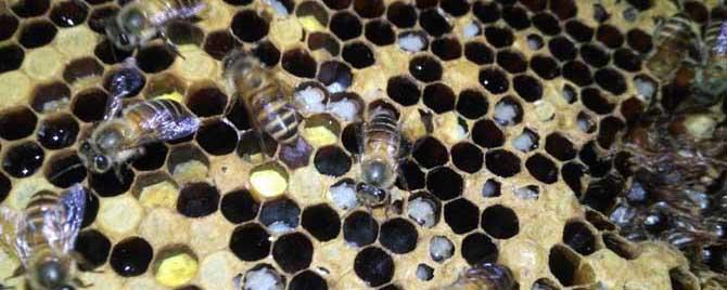 【问】中蜂烂子病的特效药有哪些?